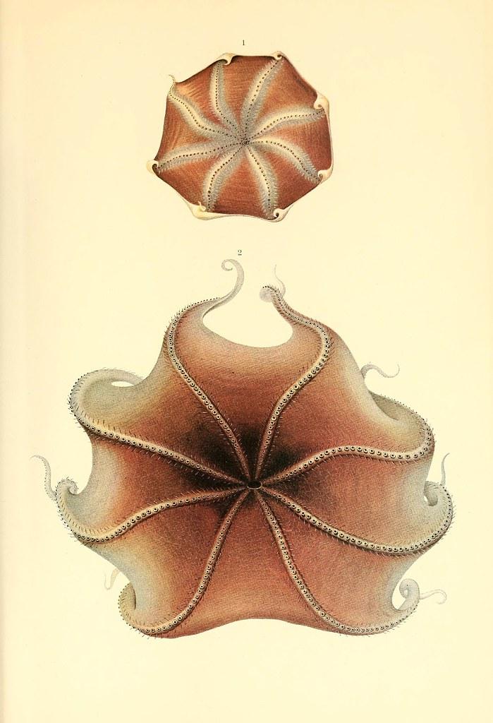 Opisthoteuthis medusoides + extensa