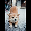 stretch (Masahiro Makino) Tags: dog japan photoshop canon eos 50mm kyoto sigma stretch adobe 京都 日本 祇園 gion shiba f28 lightroom elongate 柴犬 40d チロちゃん 20080906134019canoneos40d2ls640p