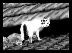 901 White Cat (Nebojsa Mladjenovic) Tags: light pet cats france art monochrome animal animals digital cat french outdoors lumix frankreich kat chat burgundy panasonic gato katze frankrijk animaux maison bourgogne francia gatto morvan francais fz50 yonne selectivecoloring svetlost macka animauxdecompagnie mladjenovic
