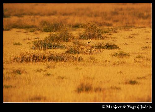 Houbara Bustard (Chlamydotis undulata) camouflage