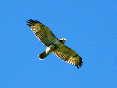 Red-tailed Hawk 20100908