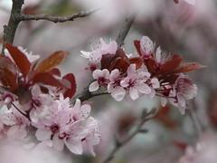 fiori rosa a Duino