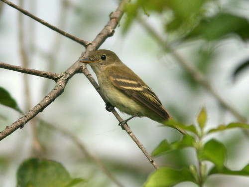 Traill's Flycatcher 20100909