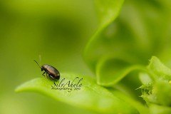 Microscopic world (SilvAhyla) Tags: bug insect bokeh 100mm28macro canoneos50d silvahyla