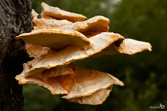 Sulphur Shelf (Laetiporus sulphureus) (BraCom (Bram)) Tags: autumn macro tree nature mushroom closeup spiderweb boom fungi cobweb treetrunk paddenstoel boomstam chickenofthewoods laetiporussulphureus zwavelzwam sulphurshelf schwefelporling polyporesoufr bracom