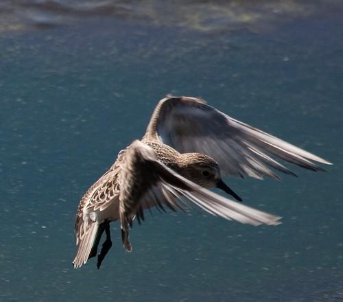 Baird's in flight