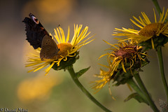 Sharing a flower (Daniel Mihai) Tags: life flowers red black macro green nature beautiful yellow butterfly fly bokeh share