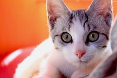jerry (heartenough) Tags: cats cat chat felino katzen gatta  mo heartenough