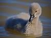 Cygnet portrait (Denis Hawkins) Tags: swan soft beak cygnet fluffy canberra babyswan denishawkins