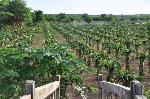 Dragon Fruits Farm