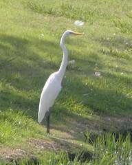 great egret glendover pond, 2
