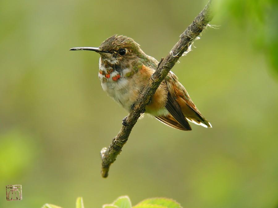 Allen's Hummingbird i 02101