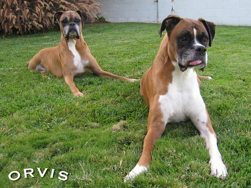 Orvis Cover Dog Contest - Rocky & Rico
