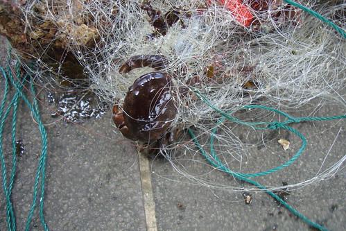 活生生的螃蟹卻被魚網綁住,困頓在原地。(不過放心,這隻螃蟹身上的漁網已被志工解除,圖:陳玄州提供)