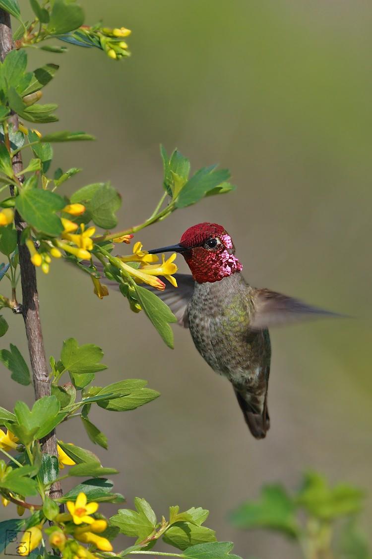 Anna's Hummingbird 04101