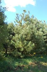 "Ponderosa Pine w/ Huge Needles <a style=""margin-left:10px; font-size:0.8em;"" href=""http://www.flickr.com/photos/91915217@N00/4997189437/"" target=""_blank"">@flickr</a>"