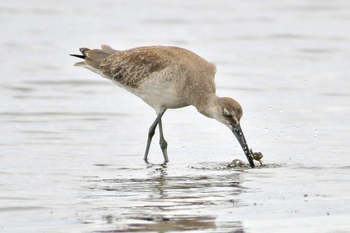 western willet catches crab 1