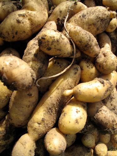 Aardappel (algemeen)