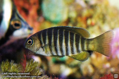 Zebra Fish - Girella zebra