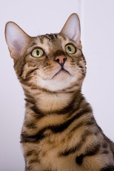 Tiger Pann (PhotoRock) Tags: wild cat kat tiger gatos lindo gato felino ataque tierno kutte