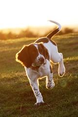 IMG_5600 (chrisgandy2001) Tags: sunset sky dog sun cute english ess puppy dusk sunny ears spaniel springer springerspaniel doggy pup puppydog englishspringerspaniel englishspringer