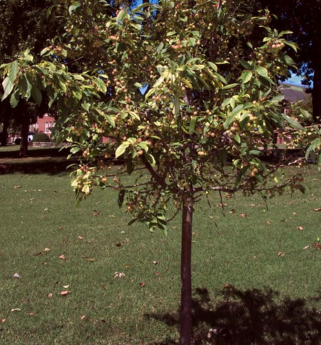 Young Apple Tree