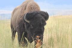 s10_0175 (alpinebob2001) Tags: buffalo nationalbisonrange moiesemontana americanbision