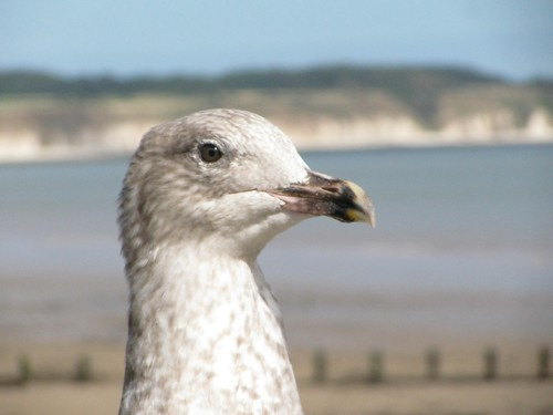 Bridlington Seagull