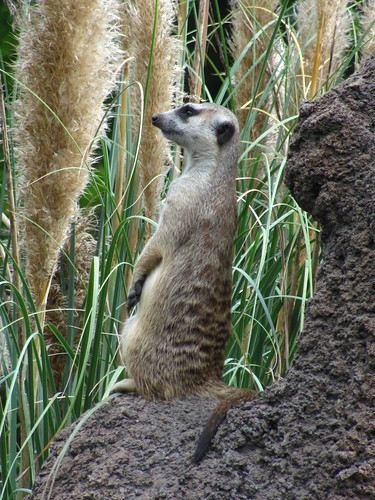 Meerkat on the Pangani Forest Exploration Trail