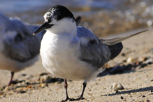 tern black bill yellow tip face front