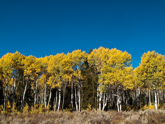 Aspens at their Finest