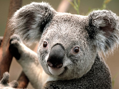 Koala (richard put) Tags: beer dieren australi zoogdier buideldier eucalyptusboom