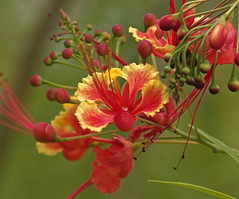 A re-post!..Peacock Flower (Caesalpinia pulcherrima)