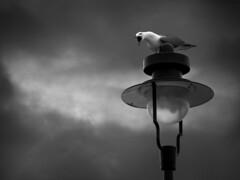 Squawk (S_tem) Tags: sky bird nature lamp stem natural gull croatia lampa priroda rovinj mew squawk istra nebo krik ptica galeb agry slavko pavlovic ljut vrisak spns