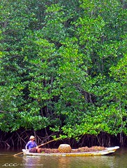 Indonesia-Bali / Di Hutan Bakau di Nusa Lembongan