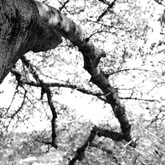 Snaking Branches (michael.mcc) Tags: bw white black tree branch fig brisbane queensland paddington suburbs austalia