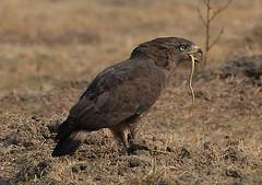 Western Banded Snake Eagle #4