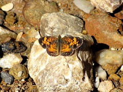 Pearl Crescent (bbwhale) Tags: butterfly maryland crescent pearl bethesda