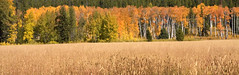 Field With Colors (Kristin_Joy) Tags: park trees fall nature colors beauty field leaves yellow gold grand national wyoming teton