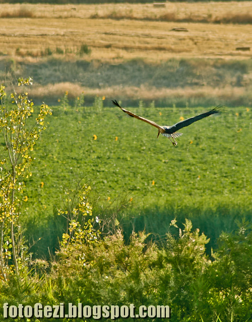 Stork flying over fields