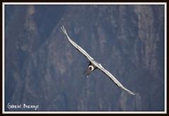 La diagonal del condor (Cañón del Colca - Peru)
