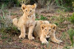 RYALE_SA_National_Park_Addo_92 (Yale_Rebecca) Tags: africa southafrica babies lion conservation safari lions animalsanctuary lioncubs endangeredspecies threatenedspecies addoelephantpark babylions africandawn southafricannationalparks rebeccayale rebeccayalephotography portelizabaeth