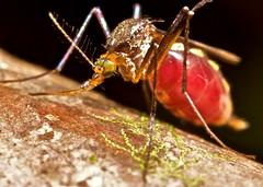 I'm full Mosquito (Psorofora ferox) (pbertner) Tags: macro nature animals america outdoors amazon rainforest south insects bugs guyana ala tropical biology mouches fliege moscas entomology herpetology diptera macrophotography macrography flgel voler lalat sayap dpteros  laile  diptres macrolife   dipteren