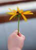 My Flower (Narfas) Tags: white flower color green yellow photo saturated lowlight solitude child hand dusk grainy blackeyedsusan highiso shallowdof nikkor50mm18 nikond80 capturenx2