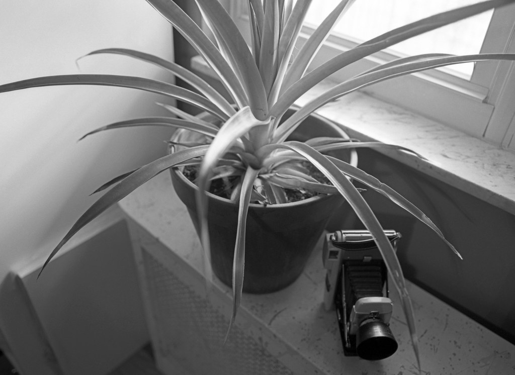 Still Life With Pineapple Plant & Polaroid Land Camera Model 80A