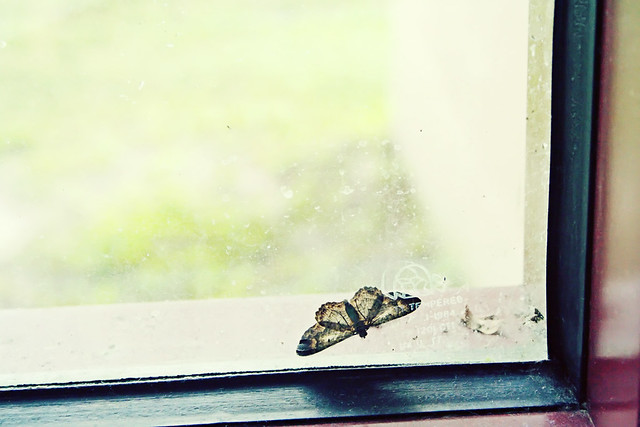 window moth