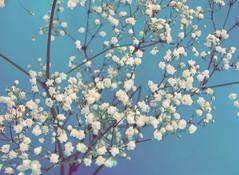 delicate (Shandi-lee) Tags: flowers blue white babysbreath macroflowerlovers