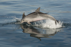 Bottlenose Dolphin Spain 04 (PKM Photos) Tags: spain dolphins bottlenosedolphins