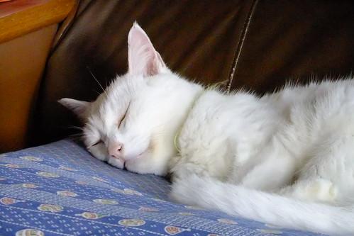 猫、睡眠中。