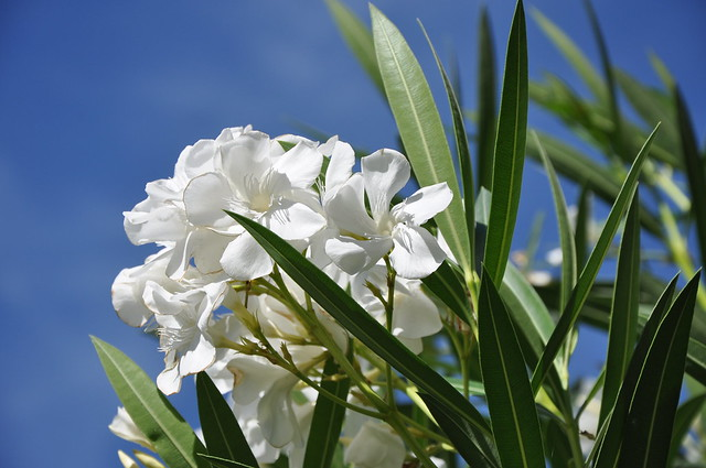 Laurel flower - Nerium oleander